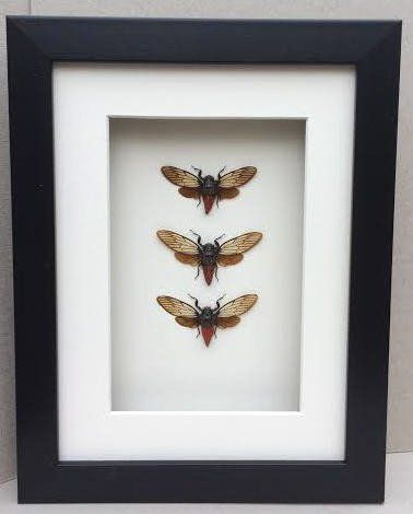 Brushed Black Resin Shadow Box Frame with Mount.  Available  at Trade Prices in Pack Sizes from 8 to 20. From 4.14 + Vat Per Frame.  27 Sizes Available from 4x6'' to A2.  Moulding: 20mm Wide x 32mm Deep with 19mm Gap Between Back of Glass and Back of Fram